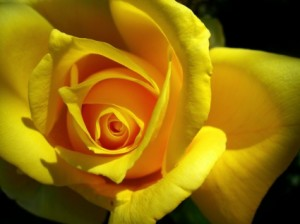 yellow_rose_wallpaper_flowers_nature_wallpaper_1254