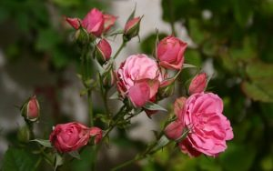 roses_flowers_buds_111721_300x188