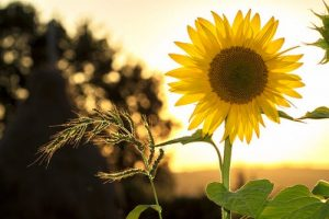 This image has an empty alt attribute; its file name is sunflower-sun-summer-yellow-300x200.jpg